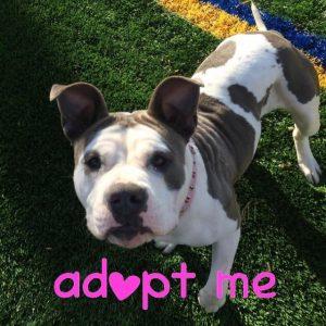 Pit bull adoption
