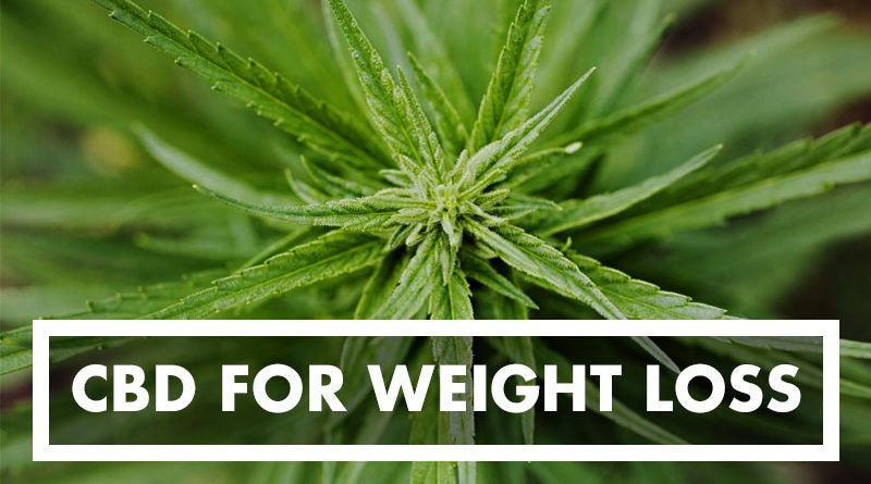 CBD For Weight Loss: All You Need To Know About Using CBD Oil